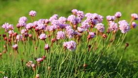 Armeria Maritima. Macro shot of Armeria maritima moving in the wind on the Brittany coast in North of France stock video