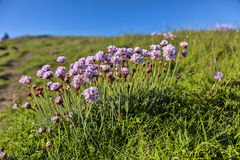 Armeria Maritima royalty free stock photo