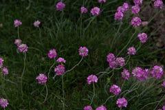 Armeria maritima. Pink Armeria maritim in garden Stock Photography