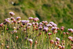 Armeria Maritima, Sea Pink or Thrift Wild flowers. Armeria Maritima - Sea Pink or Thrift - Closeup on a bunch of wild pink flowers on blurred background during Royalty Free Stock Photo