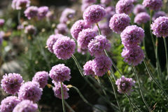 Armeria maritima (Sea Thrift) Royalty Free Stock Images