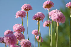 Armeria maritima (Sea Thrift) Stock Photos