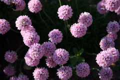 Armeria maritima (Sea Thrift) Stock Image