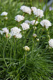 Armeria maritima, thrift white flowers and plant Royalty Free Stock Images