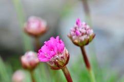 Armeria vulgaris Image stock