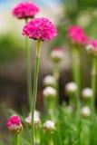 Armeria vulgaris Wild blooms in spring.  perennial garden plant Royalty Free Stock Image