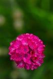 Armeria vulgaris Wild blooms in spring. A perennial garden plant Stock Photo
