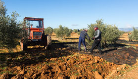 Armers with tractor harvesting   olives Stock Photos