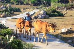 Armers y las vacas fotos de archivo libres de regalías