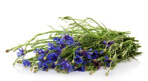 Armful of the blue cornflowers Stock Image
