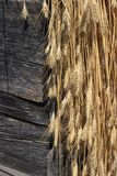Armful of wheat. Wheat bunch dries under a house roof Stock Photos