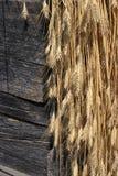 Armful of wheat Stock Photos