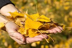 Armful of yellow leaves Stock Photography
