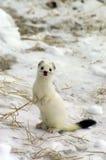 Armiño siberiano del este en el invierno. Fotos de archivo libres de regalías