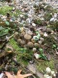 Armillaria гриба меда Стоковые Изображения RF