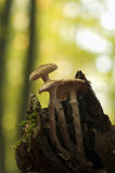 Armillaria Royalty Free Stock Photo