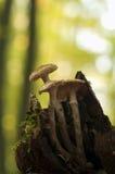 Armillaria Photo libre de droits