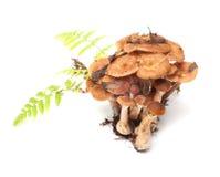 Armillaria. Stock Photo