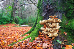 Armillaria (Honey) Mushrooms in Mourne Park, Northern Ireland. Armillaria mushrooms at the base of a large oak tree in Mourne Park, Northern Ireland Stock Image