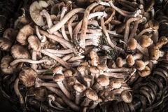 Armillaria (Kuehneromyces mutabilis), group of forest mushrooms Royalty Free Stock Image