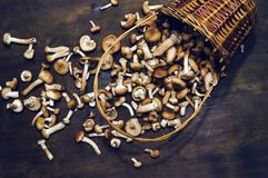 Armillaria mellea commonly known as honey fungus in the heaped wicker basket. The full wicker basket of mushrooms Fresh edible natural mushrooms Armillaria Royalty Free Stock Images