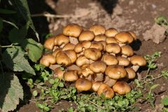 Armillaria mellea grows on damp wood Royalty Free Stock Photos