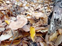 Honeydew agaric mushrooms in yellow leafs royalty free stock photography