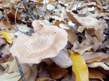 Honeydew agaric mushrooms in yellow leafs royalty free stock photos