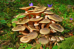 Armillaria mellea mushroom. Cluster in the forest Stock Image