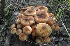 Armillaria mellea mushrooms Royalty Free Stock Photo
