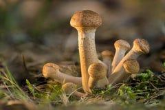 Armillaria mellea Północne Miodowe pieczarki są jadalnym dzikim grzybem Brown pieczarka, naturalnego środowiska tło obraz stock