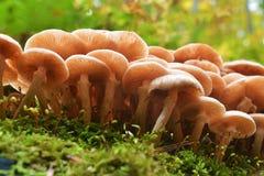 Armillaria mellea pieczarka Fotografia Royalty Free