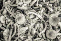 Armillaria (mutabilis Kuehneromyces), ομάδα μανιταριών επιλέξτε Στοκ Εικόνα