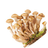 Armillaria ostoyae ( Honey mushroom ) Stock Image