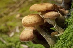 Armillaria solidipes Stock Image