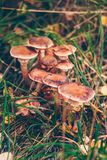 Armillaria solidipes mushrooms in a meadow Royalty Free Stock Photos