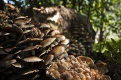 Armillaria tabescens, στο δάσος, Vosges, Γαλλία Στοκ φωτογραφία με δικαίωμα ελεύθερης χρήσης