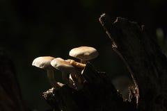 Armillaria tabescens, στο δάσος, Vosges, Γαλλία Στοκ φωτογραφίες με δικαίωμα ελεύθερης χρήσης