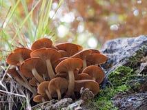 Armillaria tabescens. Ringless Honey Fungus Stock Photo