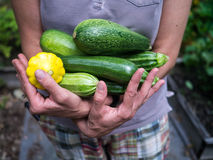 Armload of Fresh Picked Summer Squash royalty free stock images