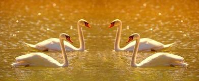 Armonía del cisne de la puesta del sol Fotografía de archivo libre de regalías