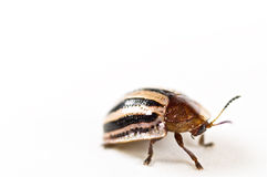 Armor beetle isolated in white Royalty Free Stock Photos