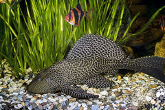 Armored catfish in the home aquarium Stock Images