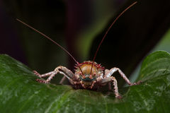 Armoured Cricket (Acanthoplus Discoidalis) Stock Images
