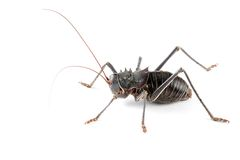 Armoured ground cricket. An African Armoured ground cricket (Family Bradyporidae) on white Royalty Free Stock Photo