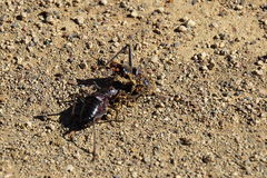Armoured Ground Cricket. African Armoured Ground Cricket - Acanthoplus discoidalis - congregates around a same species casualty to feed Stock Image