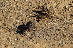 Armoured Ground Cricket. African Armoured Ground Cricket - Acanthoplus discoidalis - congregates around a same species casualty to feed Stock Photo