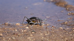 Armoured ground cricket Stock Photography
