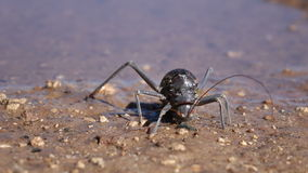 Armoured ground cricket Royalty Free Stock Photography