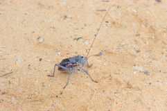 Armoured ground cricket. In the Kgalagadi Transfrontier Park Stock Image